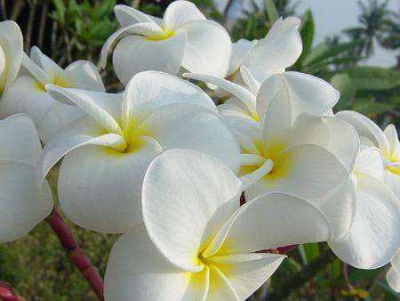 Samoan Fluff Plumeria Cutting