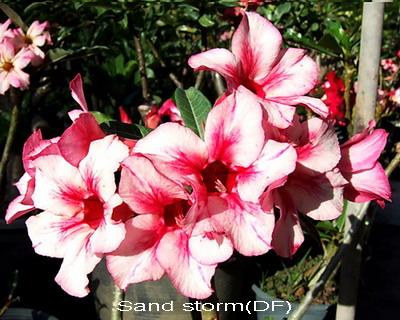 Adenium Desert Rose Sandstorm seeds