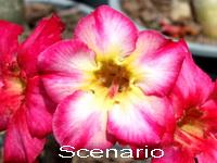 Adenium Desert Rose Scenario seeds