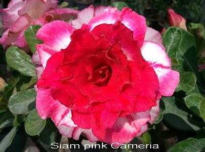 Siam Pink Cameria TRIPLE flower Adenium Obesum Desert Rose Seeds