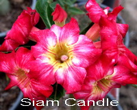Adenium Desert Rose Siam Candle seeds