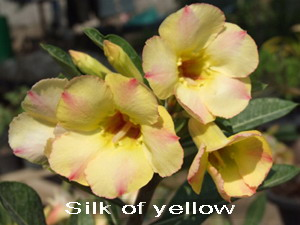 Silk of Yellow Double Flower Adenium Obesum Desert Rose Seeds