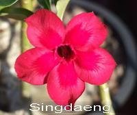 Adenium Desert Rose Sing Daeng Seeds