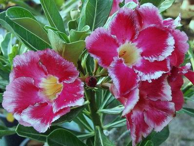 Adenium Desert Rose Son God Seeds