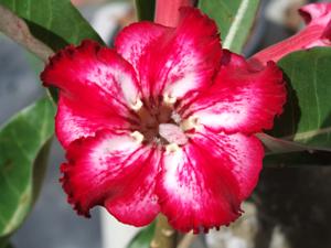 Adenium Desert Rose Star You Charm Seeds