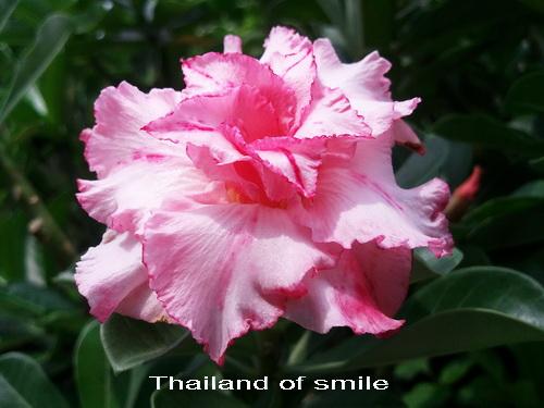 Thailand of Smile TRIPLE Flower Adenium Obesum Desert Rose Seeds