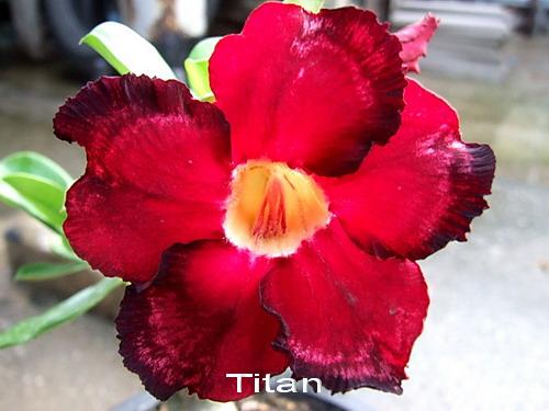 Adenium Desert Rose Titan Seeds