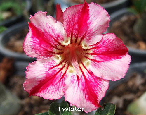 Adenium Desert Rose Twister seeds