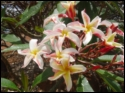 Madame Poni Waianae Beauty Plumeria Seeds