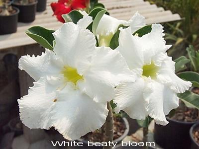Adenium Obesum Desert Rose White Beauty Bloom Seeds