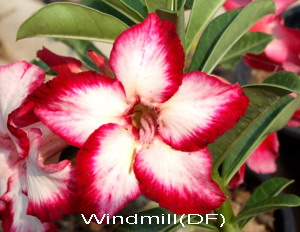 Double Flower Windmill Adenium Obesum Seeds