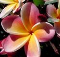 Yellow Rainbow Plumeria Seeds