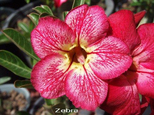 Adenium Desert Rose Zebra Seeds