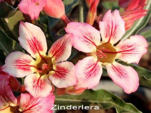 Adenium Desert Rose Zinderella Seeds
